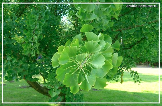 Гинкго Билоба растение древнее