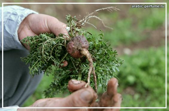 Мака Перуанская - растение афродизиак