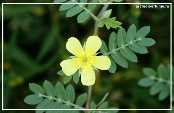 цветок трибулуса - цветение